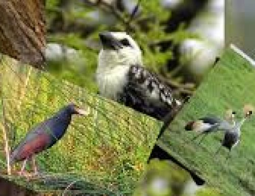 Birding adventures in Lake Mburos' Rubanga Forest – Uganda safari News