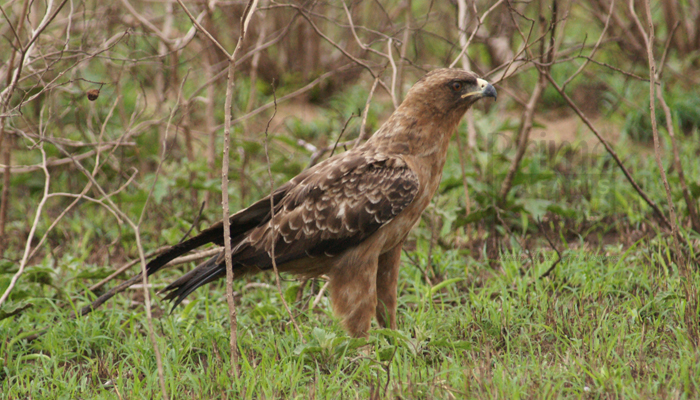 7 Days Uganda Birding Safari-tour