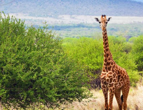 2 Days Murchison Falls Wildlife Safari in Uganda / 2 Days Uganda Wildlife Safari Murchison Falls National Park-Uganda Safari News