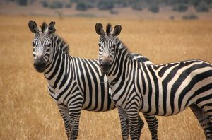 1 Day short Uganda wildlife safari