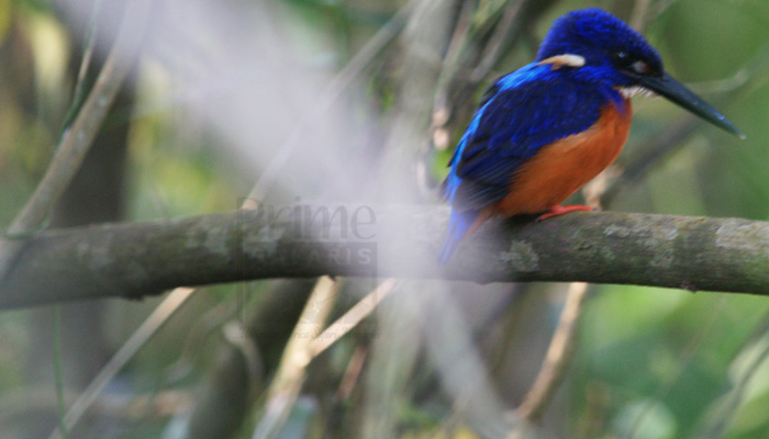 12 Days Albertine Rift Endemics Uganda Birding Safari
